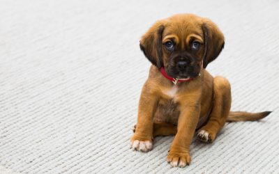 3 Methods To Remove Pet Urine And Odors From Carpet